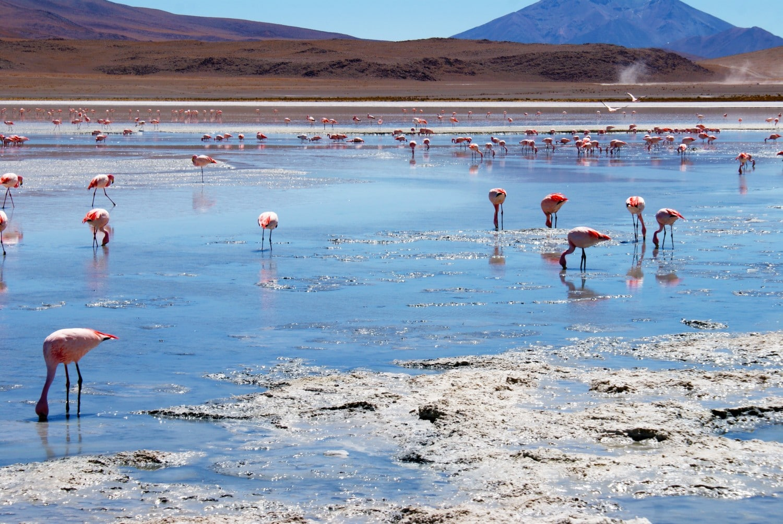 Flamingos at the Laguna Blanca, Bolivia.