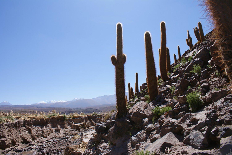 Cactus Canyon in Guatin, Atacama Desert
