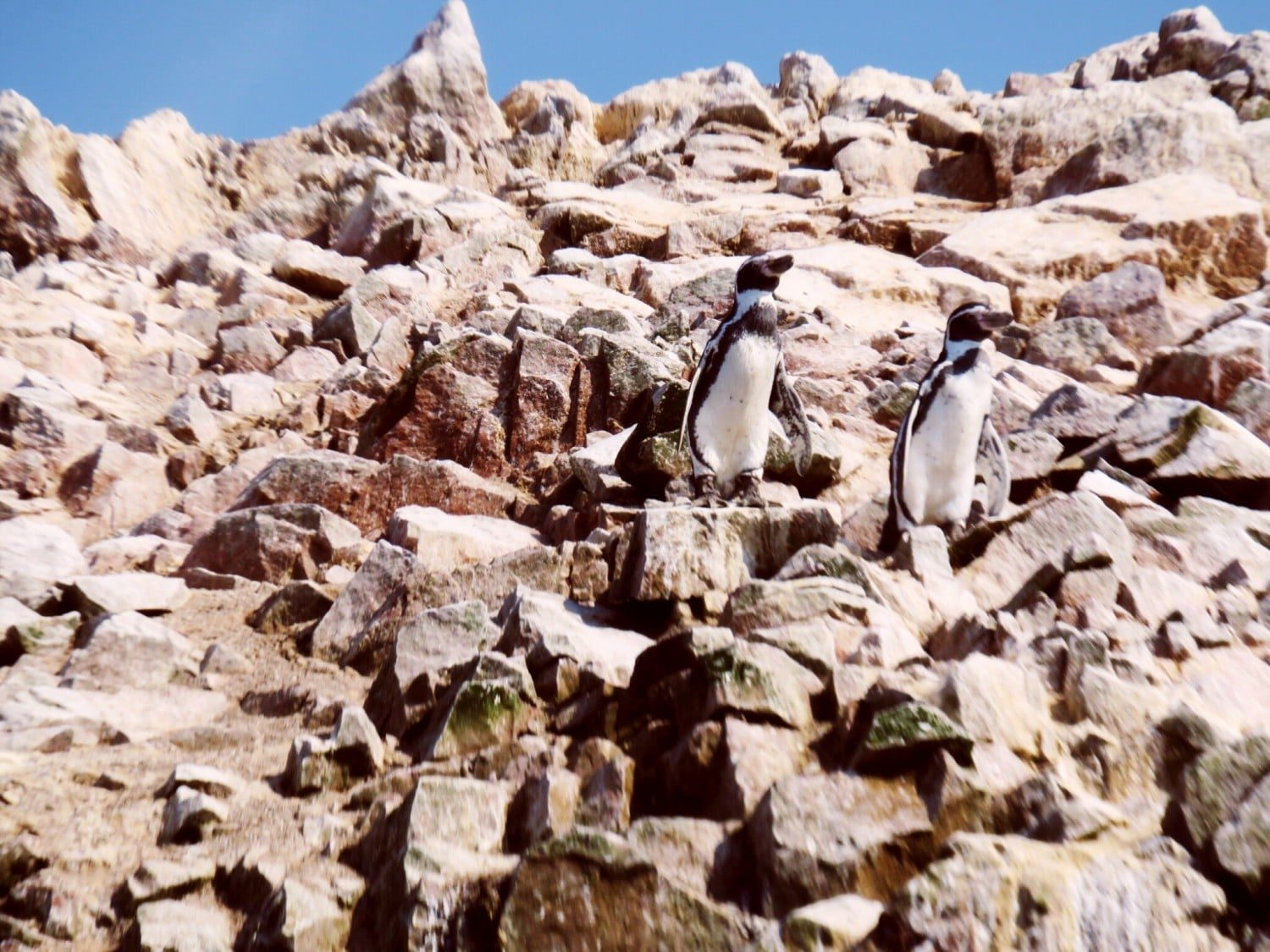 Humboldt Penguins on Ballestas Islands