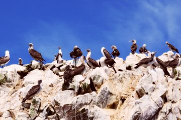 Ballestas Islands Peru - A Boat Tour from Paracas