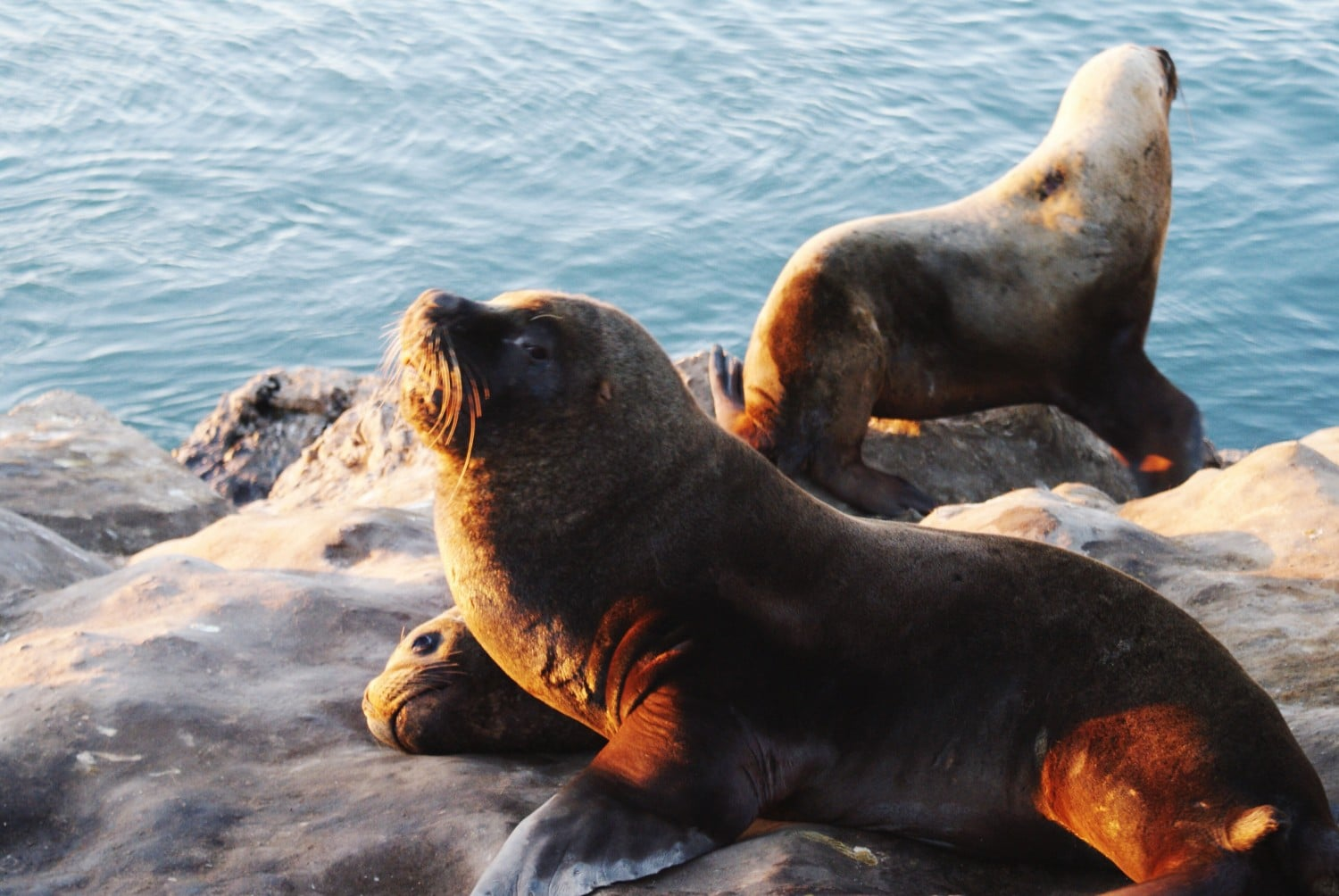 Sea Lions in Mar de Plata