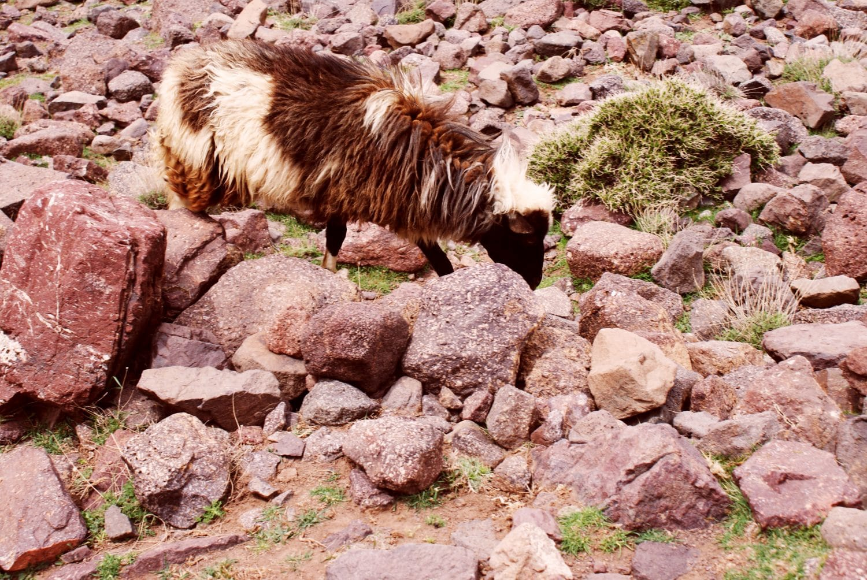 Sheep in the Atlas Mountains