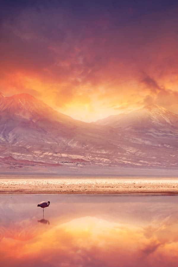Atacama Desert Flamingo