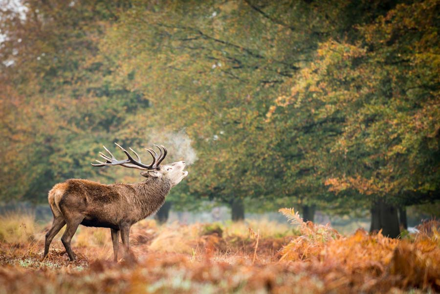 Richmond Park - stag