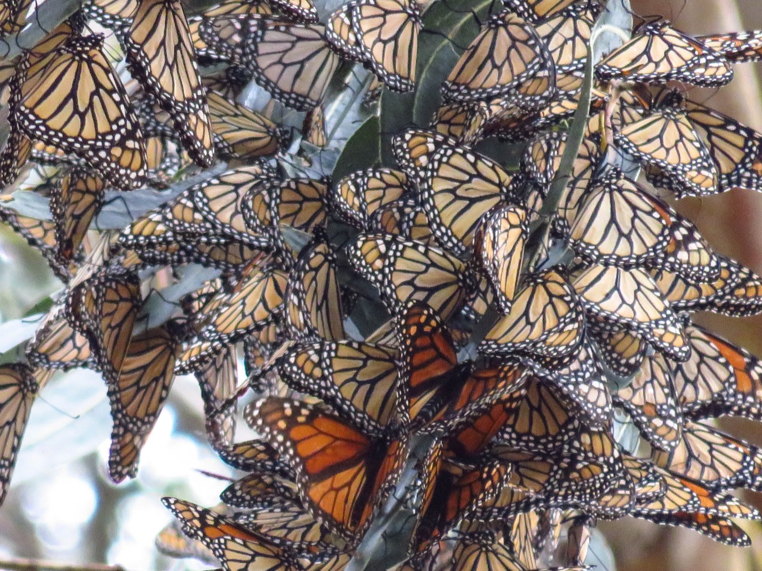 Pismo Butterfly Sanctuary. West Coast USA Road Trip Guide. Everything you need to know to plan your Highway 1 road trip. Read now