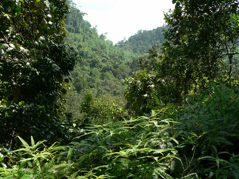 Sinharaja_Rainforest_-_panoramio
