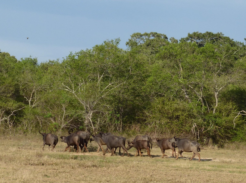 Wild_water_buffalo_Lunugamvehera