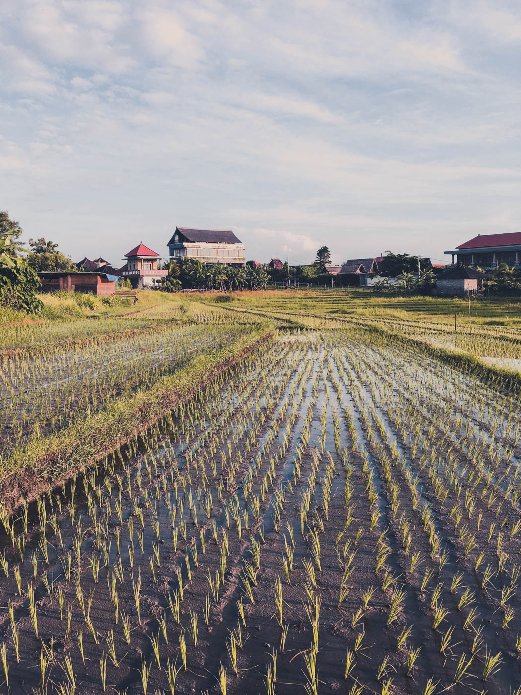 Canggu Rice Paddies - Bali Itinerary #traveldestinations #bali #beautifulplaces