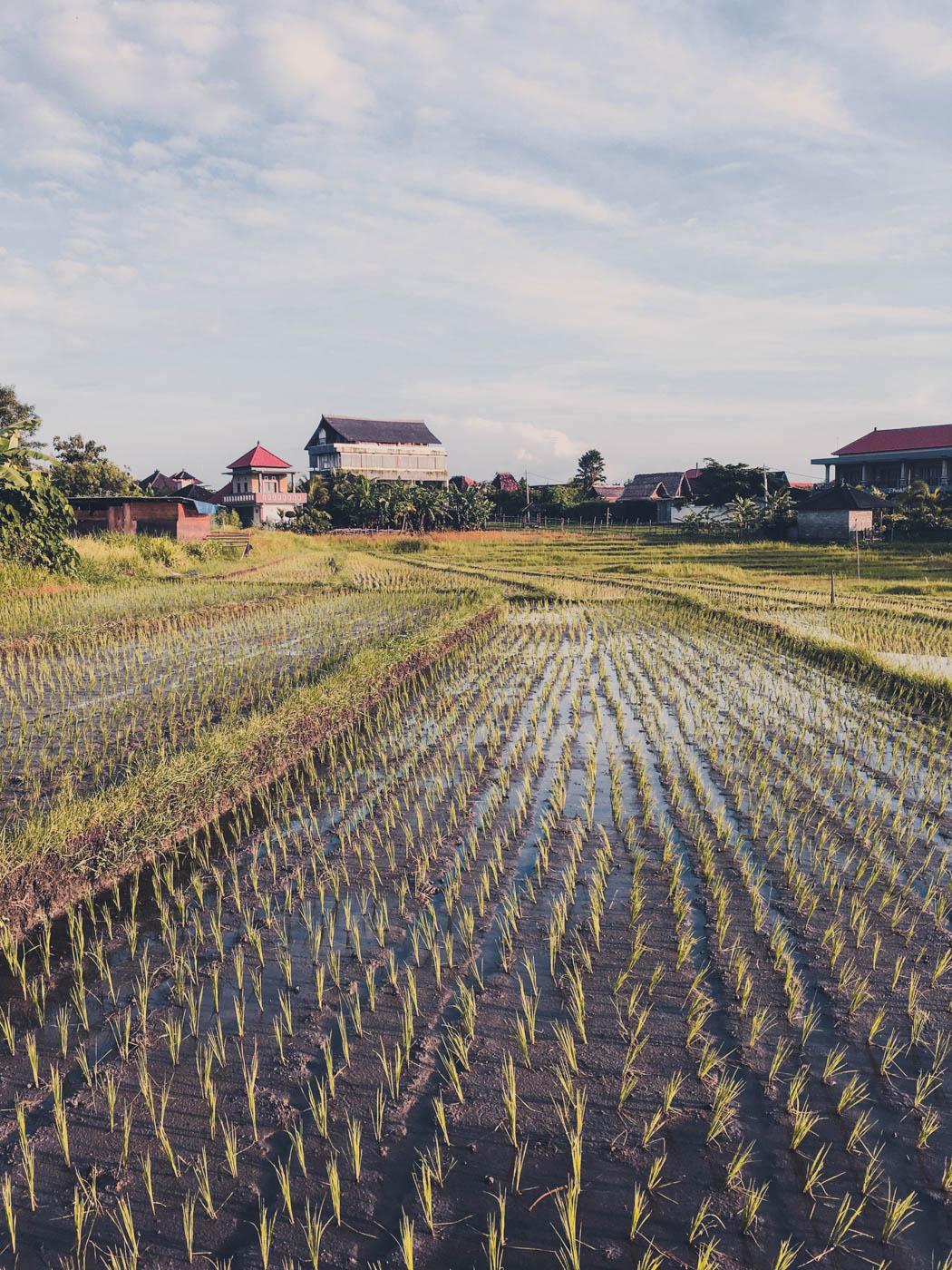 Canggu Rice Paddies - Bali Itinerary #traveldestinations #bali #beautifulplaces