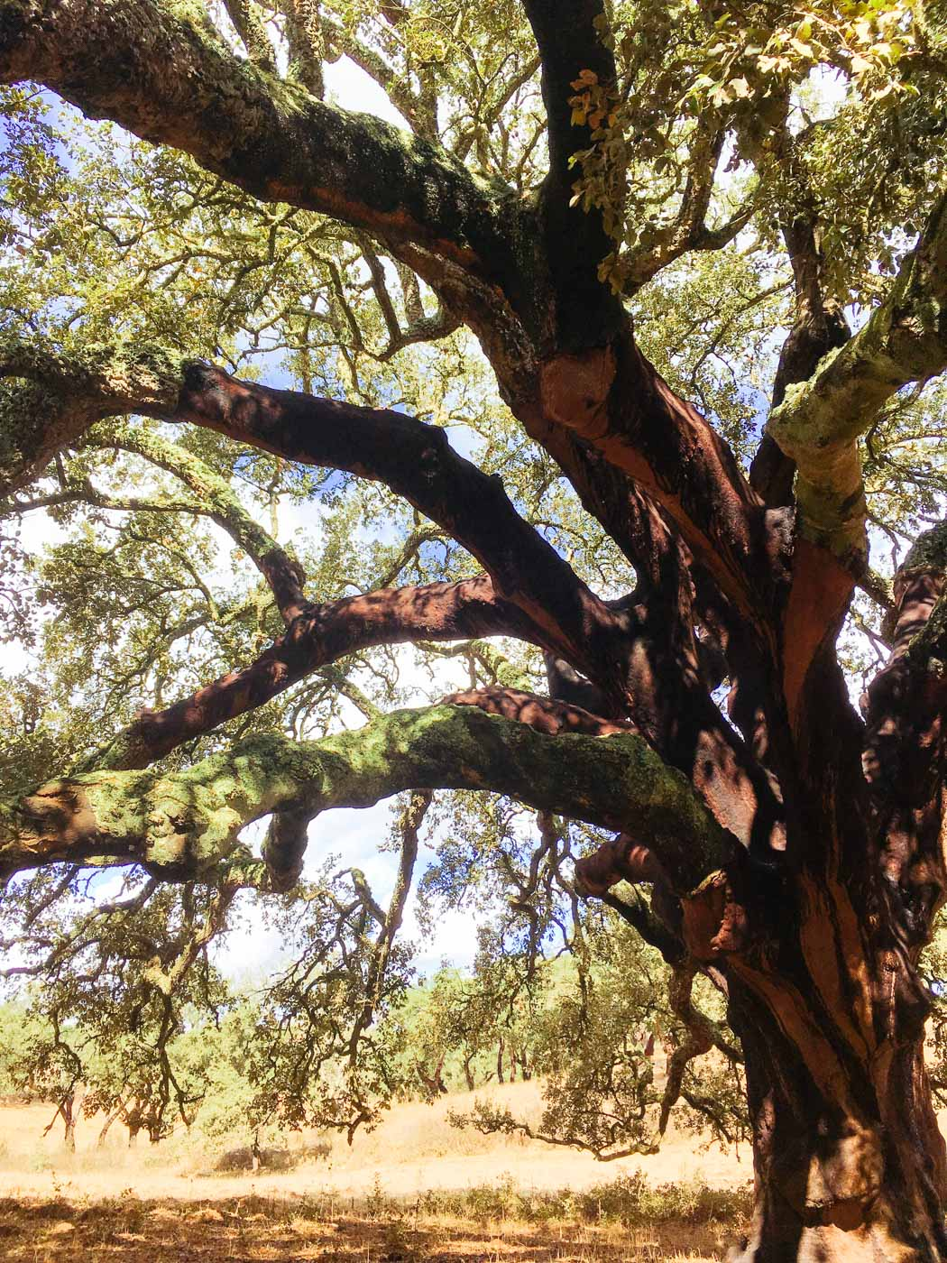 Cork tree, Alentejo Portugal #travel #traveldestinations #portugal