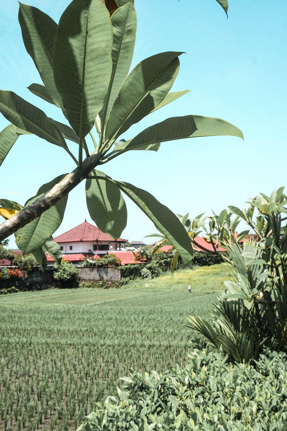 Canggu, Bali - Rice field