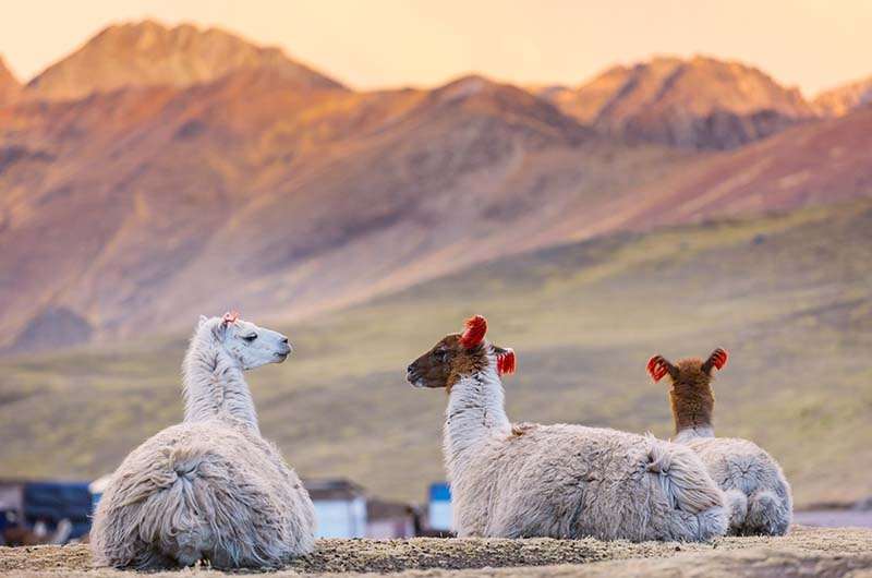 Llamas in South America