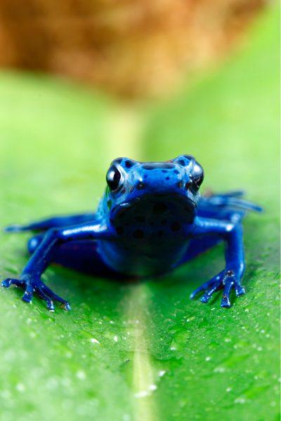 Blue poison dart frog in Suriname