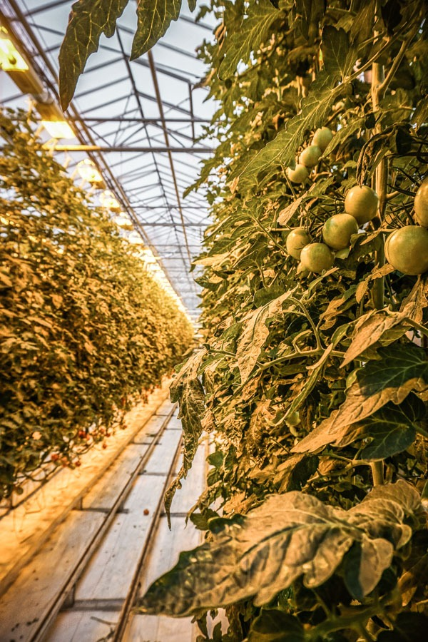 Tomatoes at Friðheimar