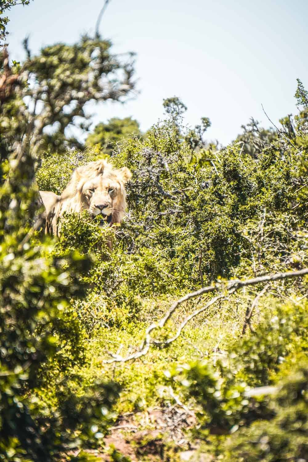 Lion gazing in Addo Game Reserve, South Africa