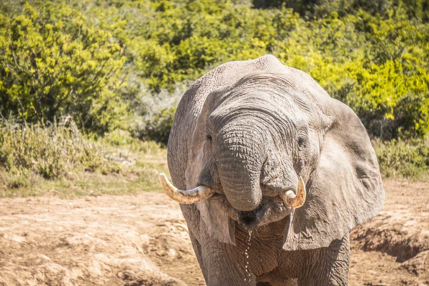 Elephant drinking water at Addo Game Reserve
