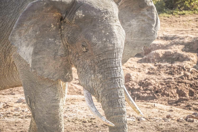 Best Addo elephant park activities - Elephant on safari