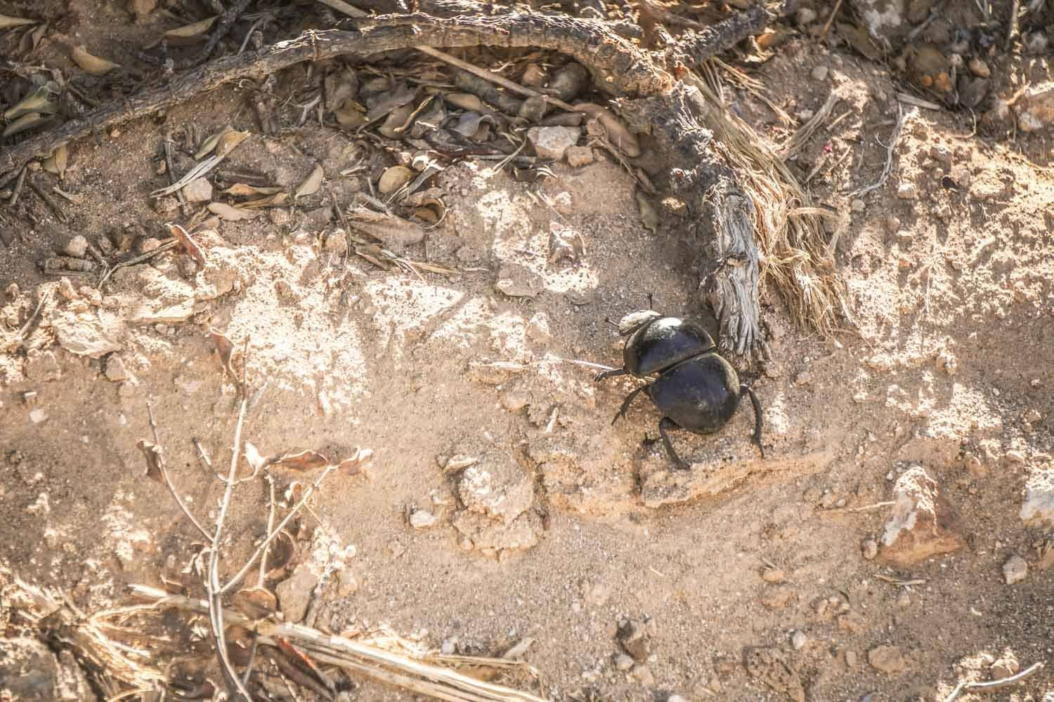 Flightless Dung Beetle - Protected species