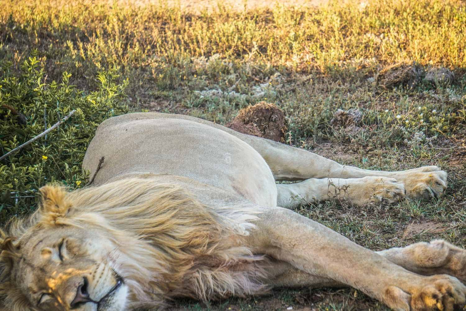 Lion at Rest in Addo Elephant National Park