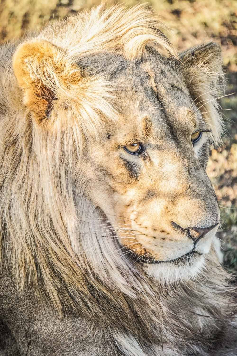 Male lion at Addo Elephant National Park