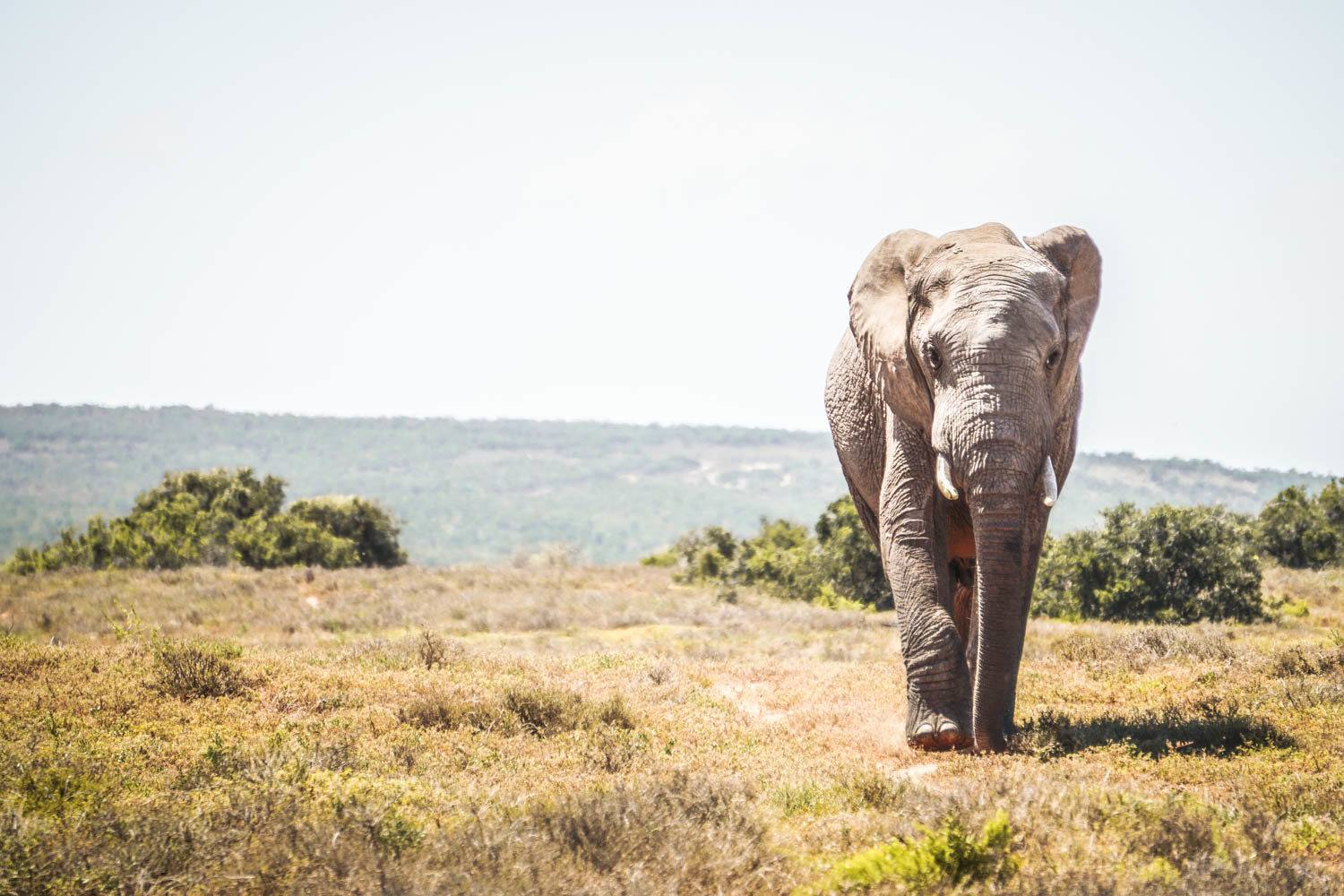 Walking Elephant at Addo National Park