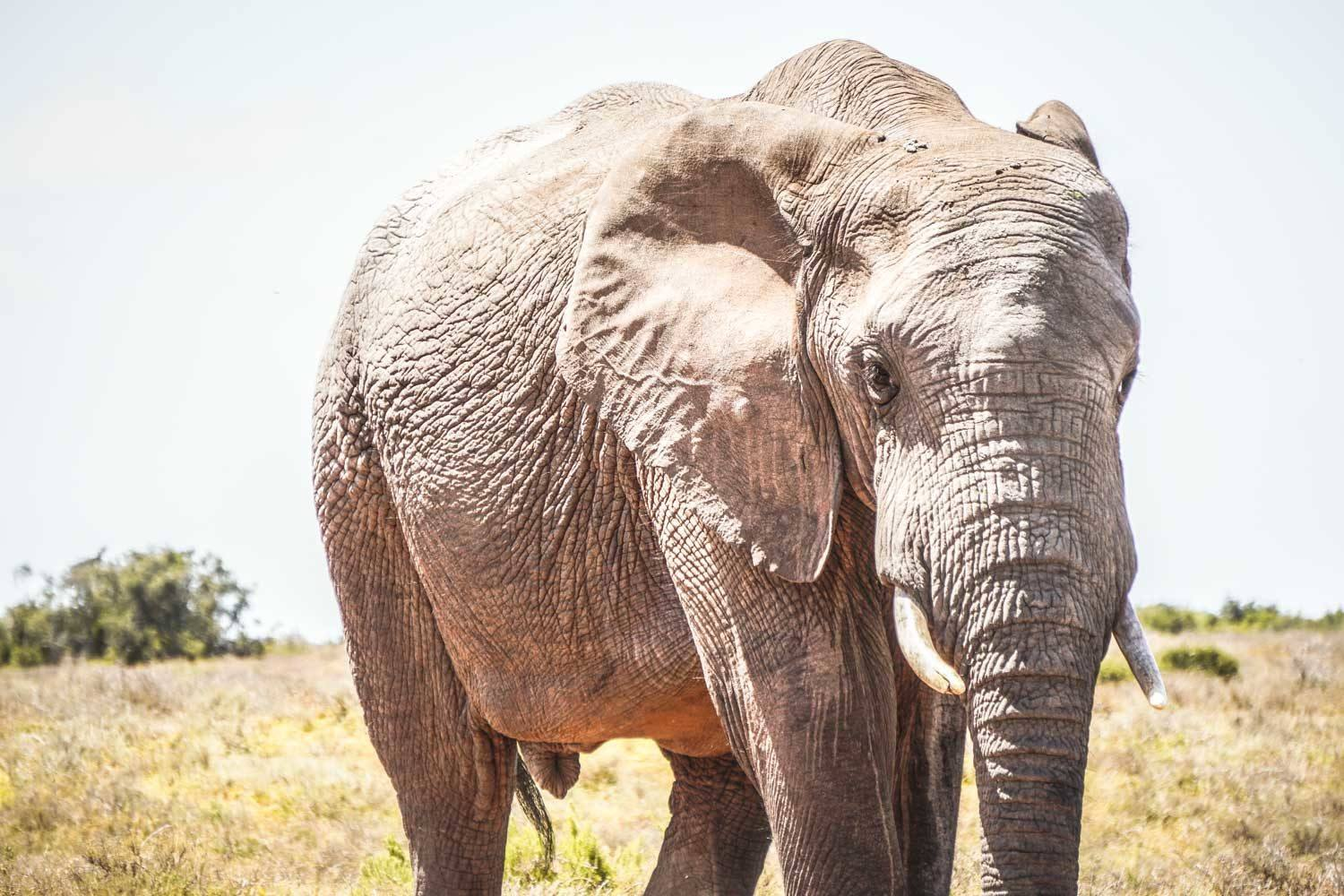 Elephant in Addo Game Reserve