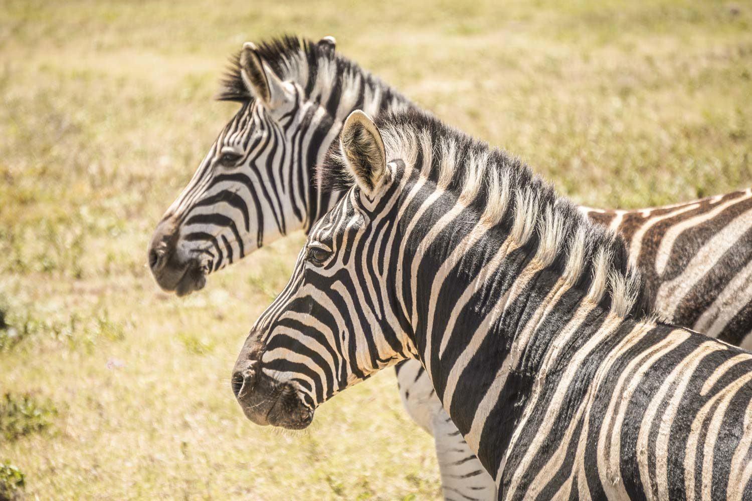 Zebras in Addo Elephant National Park