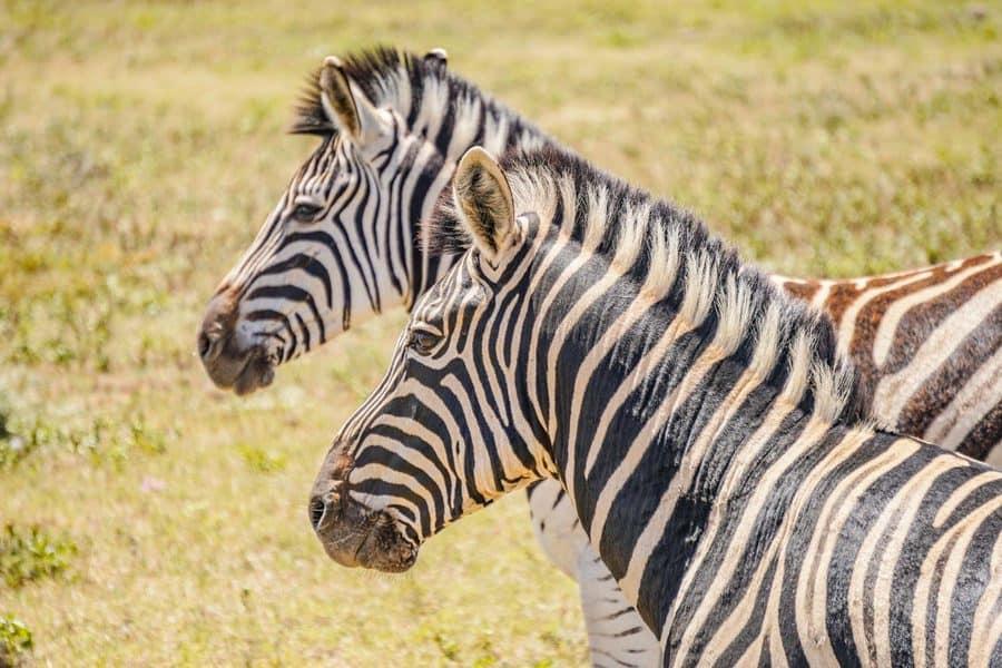 Addo Safari - Zebras