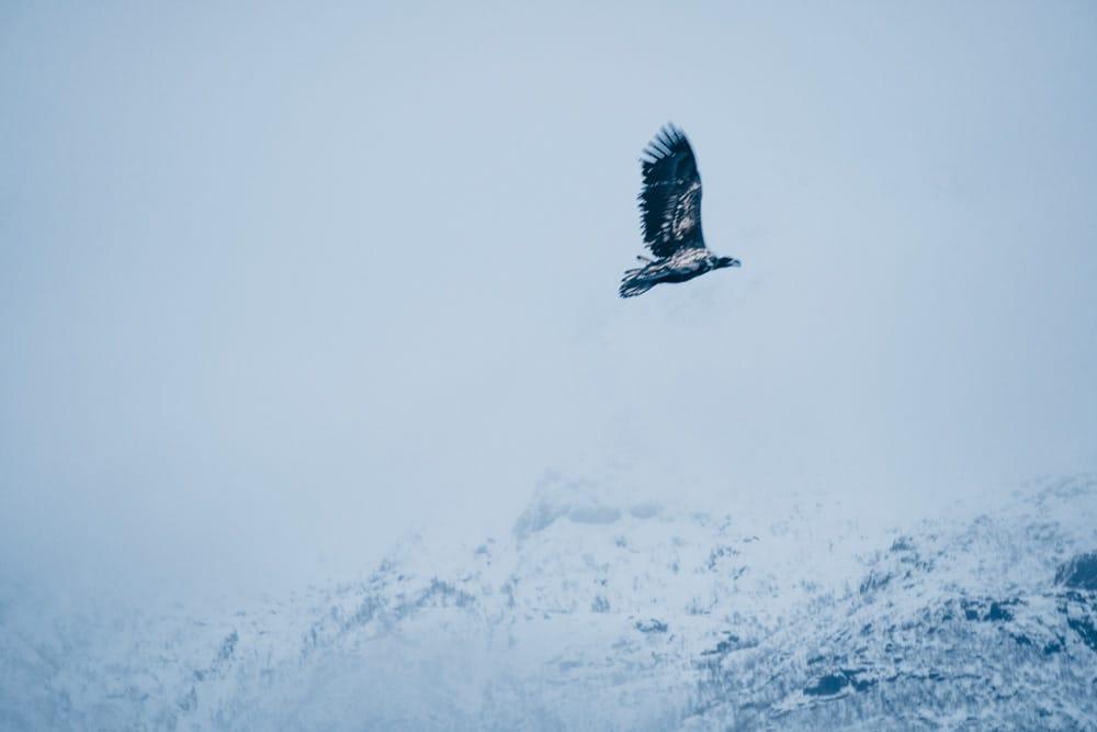 Eagle safari Lofoten